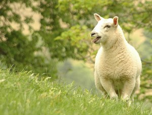Lamb in Glanogeu, by Flickr user A Roger Davies, licensed by Creative Commons