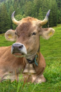 cow by Flickr User twicepix, licensed by Creative Commons