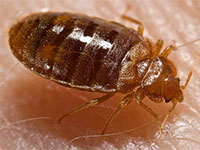 Bed bug, by Wikipedia user Piotr Naskrecki, licensed by Creative Commons