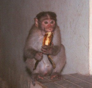 Monkey banana delight, by Wiki user Phil Servedio, licensed by Creative Commons.
