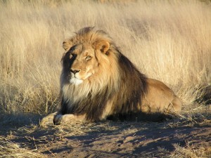 Lion_waiting_in_Namibia, by Wikimedia user Ebe 123, licensed by Creative Commons.